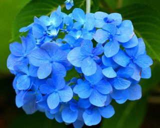 5-blue-hydrangea-58432_1920