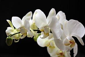 ดอกไม้ประดับพวงหรีด - ดอกกล้วยไม้
