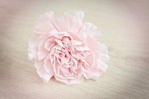 ดอกไม้ประดับพวงหรีด - ดอกคาร์เนชั่น