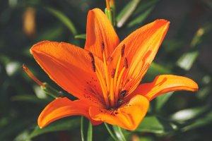 ดอกไม้ประดับพวงหรีด - ดอกลิลลี่
