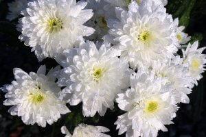 ดอกไม้ประดับพวงหรีด - ดอกเบญจมาศ