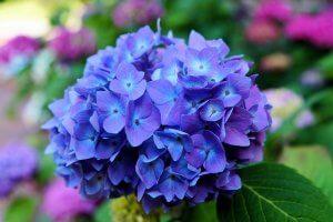 ดอกไม้ประดับพวงหรีด - ดอกไฮเดรนเยีย