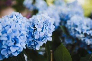 ดอกไฮเดรนเยียร์