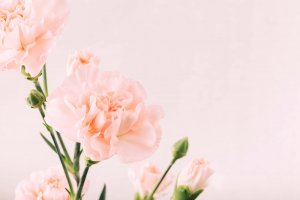 ดอกคาร์เนชั่น
